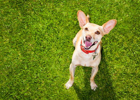playful behaviour: happy chihuahua terrier dog  in park or meadow waiting and looking up to owner to play and have fun together
