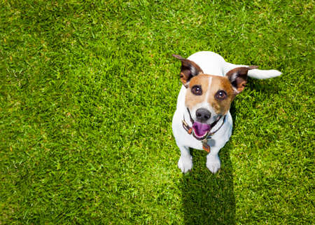 happy jack russell terrier dog  in park or meadow waiting and looking up to owner to play and have fun together