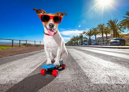 board: jack russell terrier dog  riding a skateboard as a skater , with sunglasses in summer vacation close to the beach