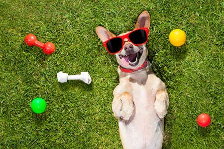 Chien chihuahua terrier heureux dans le parc ou le pré en attente et levant les yeux vers le propriétaire pour jouer et s'amuser ensemble, balle sur l'herbe