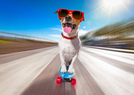 agility: jack russell terrier dog  riding very fast with speed a skateboard as skater , with sunglasses in summer vacation close to the beach