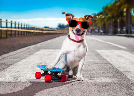 skateboarding: jack russell terrier dog  riding a skateboard as a skater , with sunglasses in summer vacation close to the beach