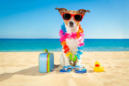 hawaiian lei: jack russell dog at the beach with a suitcase luggage or bag wearing sunglasses and flower chain at the ocean shore on summer vacation holidays