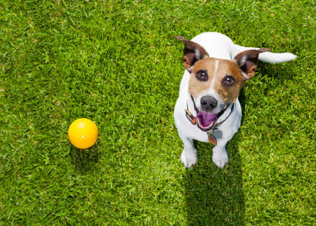 happy jack russell terrier dog  in park or meadow waiting and looking up to owner to play and have fun together, ball on grass
