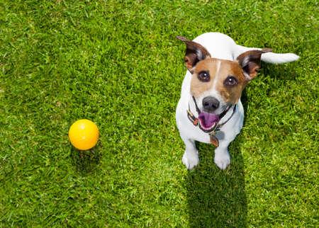 Happy Jack Russell Terrier perro en el parque o prado de espera y, mirando al propietario para jugar y divertirse juntos, bola en hierba