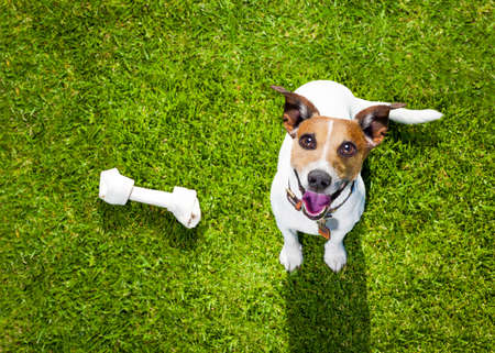 happy jack russell terrier dog  in park or meadow waiting and looking up to owner to play and have fun together, bone on grass