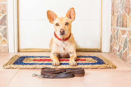 perros graciosos: Chihuahua perro que espera para el propietario de jugar e ir a dar un paseo con correa