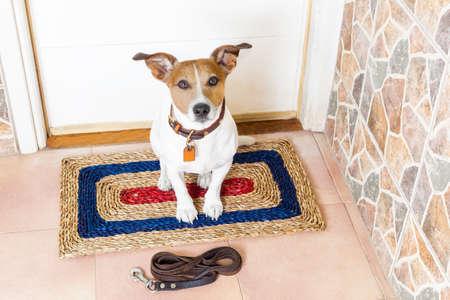 caminar: Jack Russell perro que espera para el dueño de jugar y salir a pasear con correa Foto de archivo