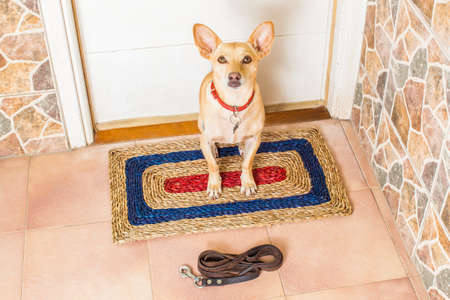 go for: chihuahua dog waiting for owner to play  and go for a walk with leash