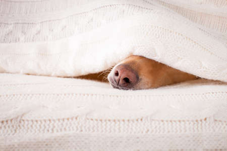 jack russell hond slaapt onder de deken in het bed van de slaapkamer, ziek, ziek of moe, blad die zijn kop