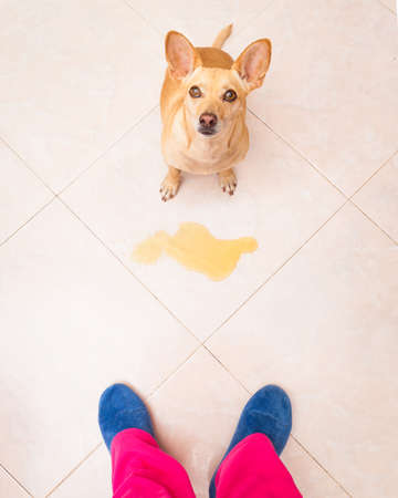 punished: chihuahua dog being punished for urinate or pee  at home by his owner, isolated on the floor Stock Photo