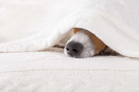 jack russell dog  sleeping under the blanket in bed the  bedroom, ill ,sick or tired, sheet covering its head Foto de archivo