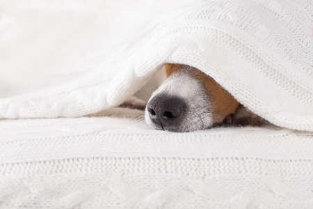 Jack Russell pies śpi pod kołdrą w łóżku sypialni, chory, chory lub zmęczony, arkusz obejmujący głowę