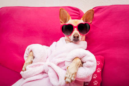 chihuahua dog relaxing  and lying, in   spa wellness center ,wearing a  bathrobe and funny sunglasses Archivio Fotografico