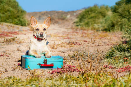 come home: chihuahua dog abandoned and left all alone on the road or street, with luggage bag  , begging to come home to owners