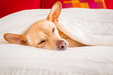 cold: chihuahua dog  sleeping under the blanket in bed the  bedroom, ill ,sick or tired, sheet covering its head
