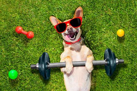 chien chihuahua faire et l'exercice du sport avec bar haltère dans la prairie du parc allongé sur l'herbe, en essayant très dur