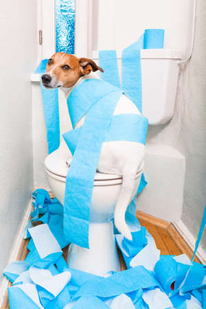 a toilet seat: jack russell terrier, sitting on a toilet seat with digestion problems or constipation looking very sad and toilet paper rolls everywhere