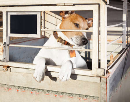 come home: jack russell  abandoned  dog and left all alone in animal shelter or cage, begging to be adopted and come home to owners
