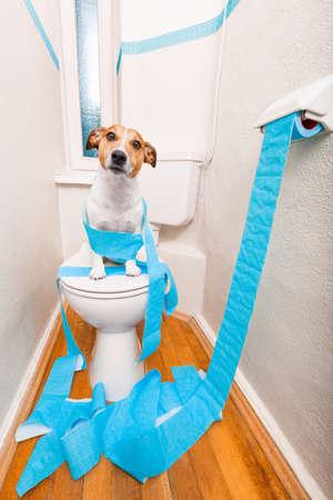 perros graciosos: Jack Russell Terrier, sentado en un asiento de inodoro con problemas de digestión o estreñimiento que parece muy triste y papel higiénico rueda en todas partes Foto de archivo