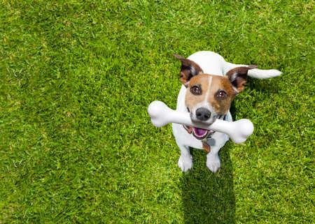 heureux jack russell terrier chien dans le parc ou prairie attente et regardant vers le propriétaire pour jouer et avoir du plaisir ensemble, l'os dans la bouche