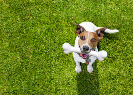 szczęśliwy Jack Russell Terrier psa w parku lub oczekiwania łąki i patrząc do właściciela, aby grać i bawić się razem, kości w ustach