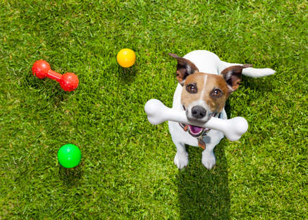 game play: happy jack russell terrier dog  in park or meadow waiting and looking up to owner to play and have fun together, bone in mouth