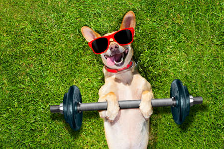 effort: chihuahua dog doing and exercising sport with Dumbbell bar in the park meadow lying on grass, trying very hard