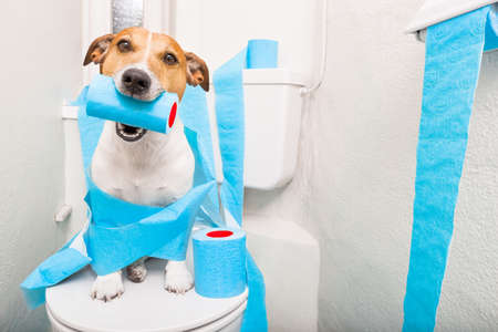 piss: jack russell terrier, sitting on a toilet seat with digestion problems or constipation looking very sad and toilet paper rolls everywhere one  roll in mouth Stock Photo