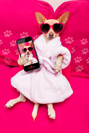 body grooming: chihuahua dog relaxing  and lying, in   spa wellness center ,wearing a  bathrobe and funny sunglasses taking a selfie