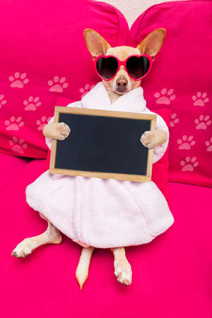 body grooming: chihuahua dog relaxing  and lying, in   spa wellness center ,wearing a  bathrobe and funny sunglasses with banner blackboard placard Stock Photo