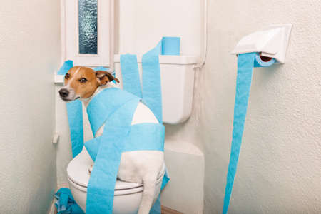 jack russell terrier, sitting on a toilet seat with digestion problems or constipation looking very sad and toilet paper rolls everywhere