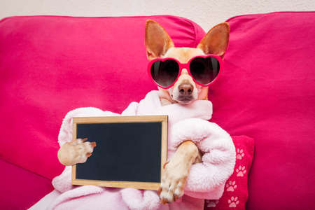 chihuahua dog relaxing  and lying, in   spa wellness center ,wearing a  bathrobe and funny sunglasses with banner blackboard placard Archivio Fotografico