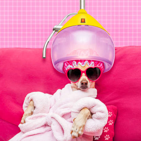 치와와 강아지 휴식과 거짓말, 목욕 가운 및 건조 후드 아래 재미 있은 선글라스를 착용하는 스파 웰빙 센터에서 스톡 콘텐츠