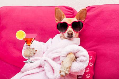 perro chihuahua que se relaja y la mentira, en el centro de spa, que llevaba una bata de baño y gafas de sol divertidas, beber un cóctel de martini Foto de archivo