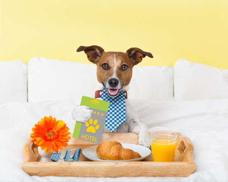 cardkey: jack russell dog in hotel  having room service with key card in paw with breakfast in bed