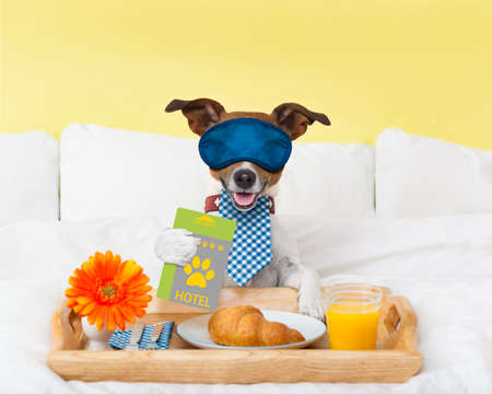paw russell: jack russell dog in hotel  having room service with key card in paw with breakfast in bed