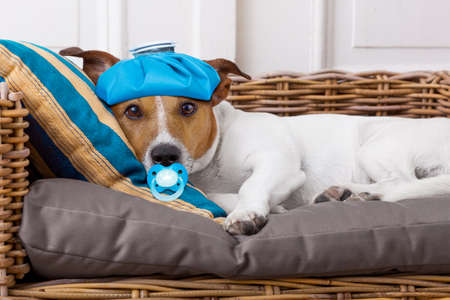 pain: sick and ill jack russell  dog resting  having  a siesta upside down on his bed with his teddy bear,   tired and sleepy Stock Photo