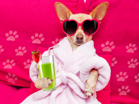 치와와 강아지 휴식과 거짓말, 목욕 가운 및 녹색 스무디 칵테일을 마시는 재미있는 선글라스를 착용하는 스파 웰빙 센터에서 거짓말