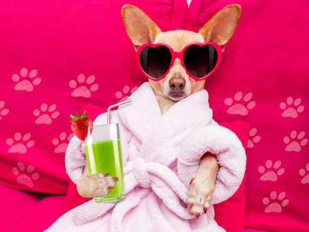 ginástica: chihuahua cão relaxar e deitado, no centro spa de bem-estar, vestindo um roupão de banho e óculos de sol engraçados beber um cocktail smoothie verde Banco de Imagens