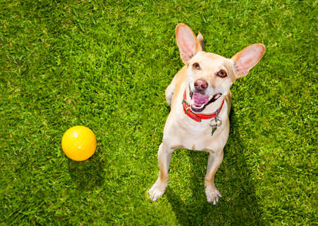 playful behaviour: happy chihuahua terrier dog  in park or meadow waiting and looking up to owner to play and have fun together, ball on grass