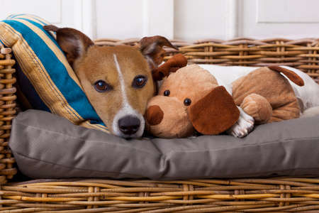 animal health: jack russell terrier dog under the blanket in bed , having a siesta and relaxing with best friend teddy bear
