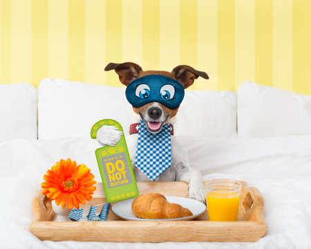 perro comiendo: perro Jack Russell en el hotel tiene sala de withdo servicio no molestar suspiro en la pata con el desayuno en la cama, con los ojos cubiertos por una máscara para los ojos