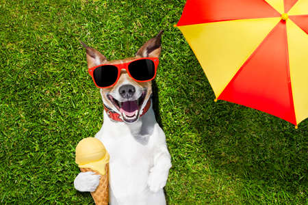 jack russell dog relaxing on grass or meadow in park  with  cold vanilla ice cream ,  on summer vacation holidays under umbrella