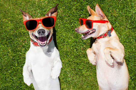 playful behaviour: couple of  funny  and laughing dogs with sunglasses,  on grass or meadow in park    on summer vacation holidays