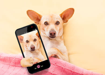 photo: chihuahua dog  resting and relaxing in bed under blanket taking a selfie with smartphone