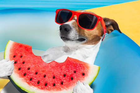 fruit: jack russell dog   on a  mattress  relaxing  on summer vacation holidays,   eating a fresh juicy watermelon, by the beach