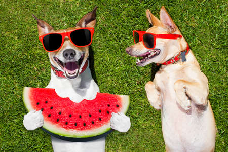 couple of  funny  and laughing dogs with sunglasses,  on grass or meadow in park    on summer vacation holidays , one eating a fresh watermelon
