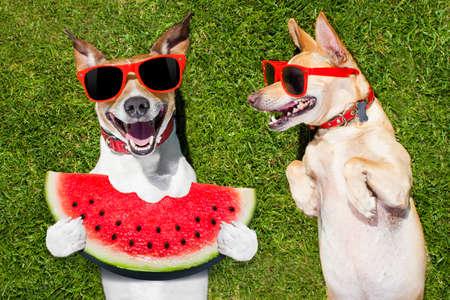 par de perros divertidos y de risa con las gafas de sol, sobre el césped o prado en el parque sobre vacaciones en vacaciones de verano, uno que come una sandía fresca Foto de archivo