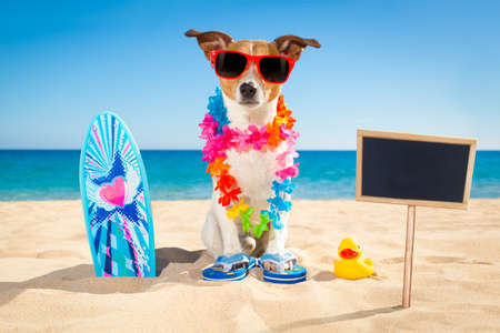 hawaiian lei: jack russell dog at the beach with a surfboard wearing sunglasses and flower chain at the ocean shore on summer vacation holidays